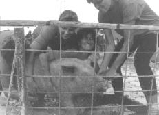 1988 Pig Wrestling